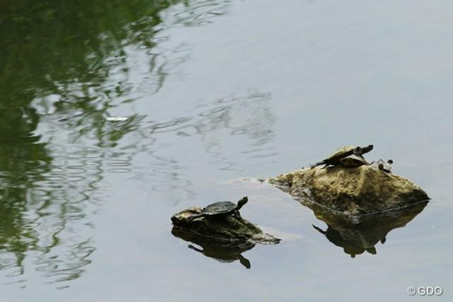 水面を覗くと、そこにはゴルフとは関係ない風景があった。親亀の上に子亀?