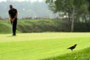 2014年 全米プロゴルフ選手権 最終日 小鳥
