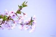 2015年 アクサレディス in MIYAZAKI 最終日 桜