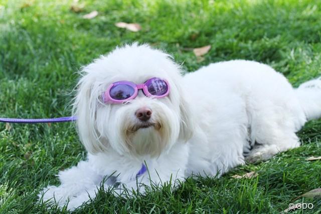 強い日差しは犬でも目に悪い?似合ってます!