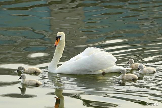2015年 ~全英への道~ミズノオープン 初日 白鳥 クラブハウス前の池、みにくいアヒルの子達に癒されます。
