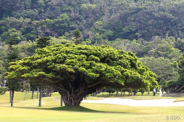 2016年 ダイキンオーキッドレディスゴルフトーナメント 2日目 琉球GC 立派なガジュマルの樹です