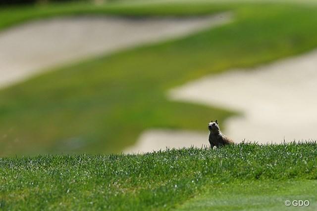 地面に穴を掘って棲むプレーリードッグ、警戒心が強い動物なのに、ゴルファーが近づいてもあまり逃げない