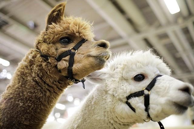 白いアルパカが増えたのにはパーマーの影響もあったそう(Inga Kjer/Photothek via Getty Images)