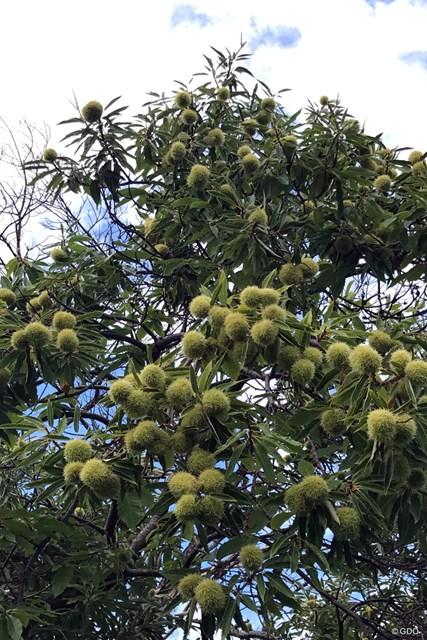 エビアンのコース内に緑色の実を付ける栗の木