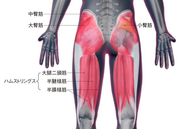 臀筋とハムストリングスの構造