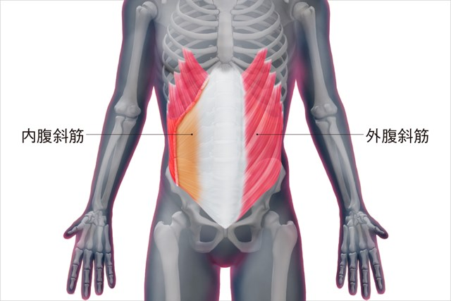 腹斜筋の構造