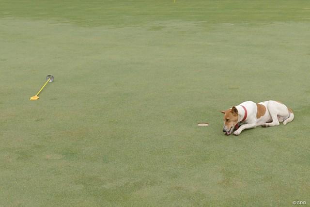 コース内をわがもの顔で歩く犬たち。首輪をしているので飼い犬なのです。