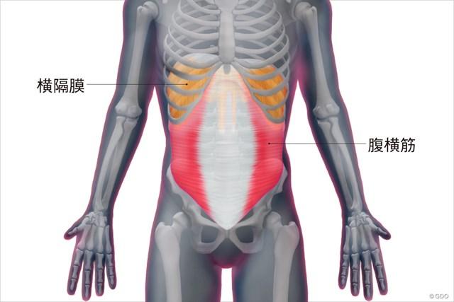 腹横筋と横隔膜の構造