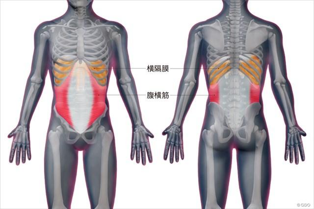 腹横筋と横隔膜の位置