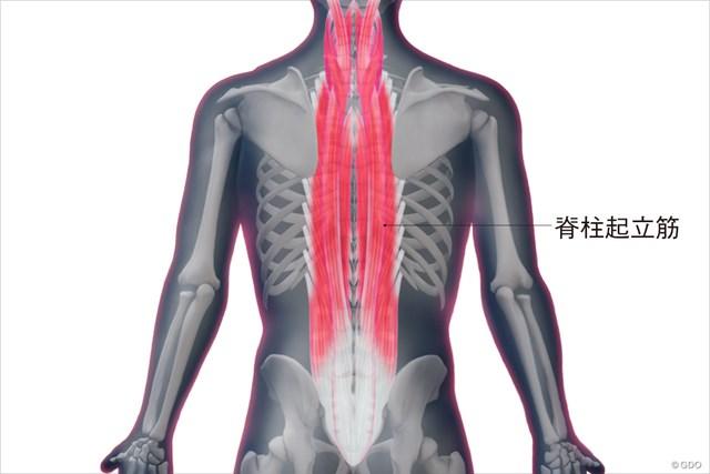 脊柱起立筋の構造