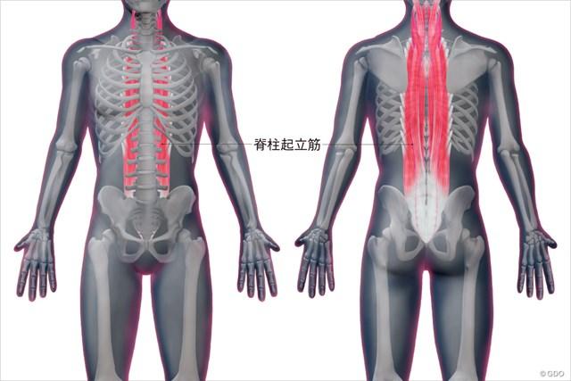 脊柱起立筋の位置