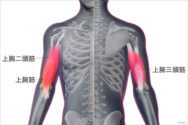 上腕筋群の構造