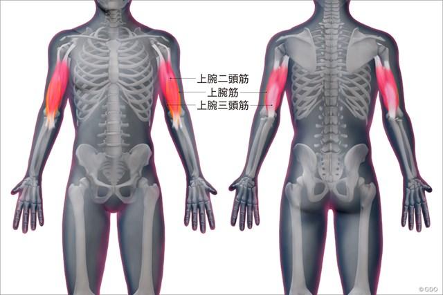 上腕筋群の位置
