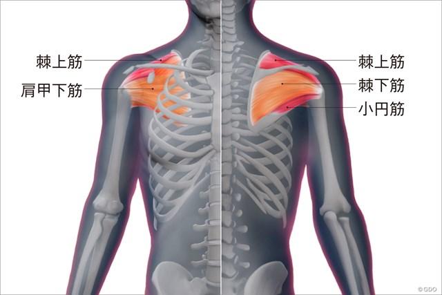 <ゴルフと筋肉>肩まわりのストレッチ ローテーターカフの構造
