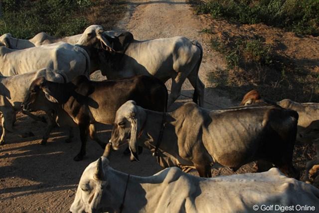 道路を横切る牛の群れ。もちろん、車よりも優先だ