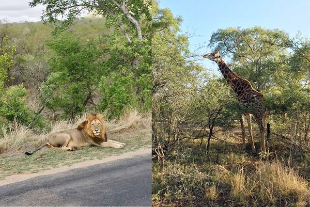 南アフリカで立ち寄ったサファリパーク。ライオンとキリンをパシャリ