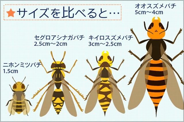 一番大きなオオスズメバチだと5cm近いサイズのものも…