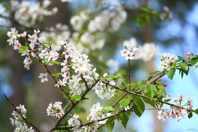 コースには桜も咲いているのです
