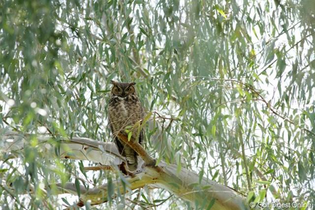 コース内の木の上にふくろうを発見!鋭い眼光を光らせているが、昼間なので見えてるの?