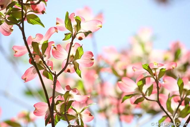 2010年 マスターズ事前 オーガスタに咲く花 今年はつつじはまだ咲かないが、それでも綺麗な花は至る所に