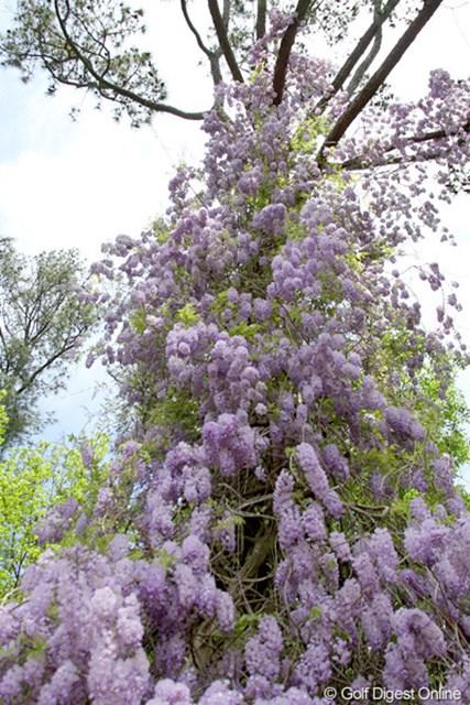2010年 マスターズ事前 藤の花 大きな木の幹を覆うようにさく藤の花