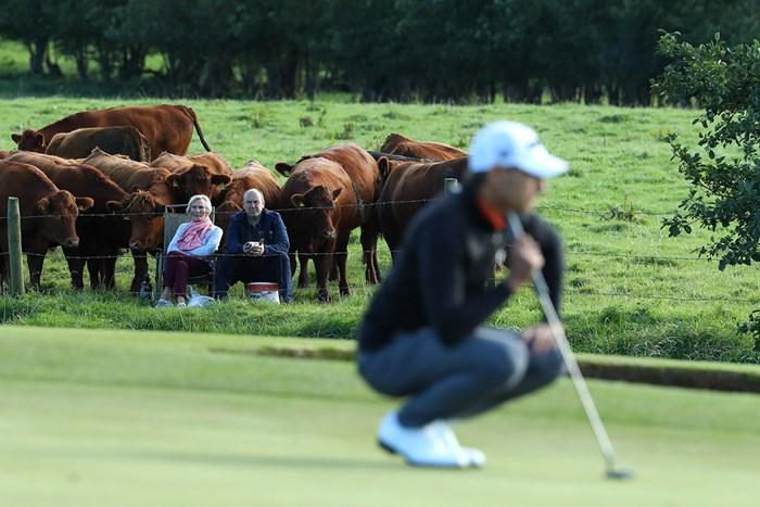 牛さんたちも観戦 (Warren Little/Getty Images) 2020年 ドバイデューティーフリー アイルランドオープン 3日目 ドバイデューティーフリー アイルランドオープン