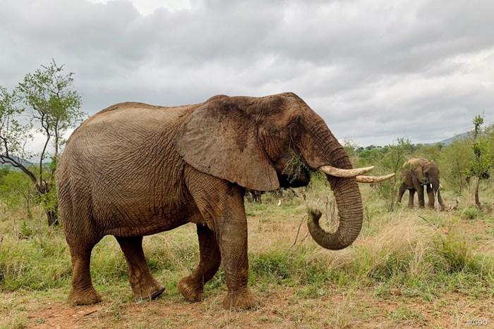 コロナ禍でもサファリパーク見学は許可されました。デカい… 2020年 アルフレッド・ダンヒル選手権 事前 南アフリカのサファリパーク