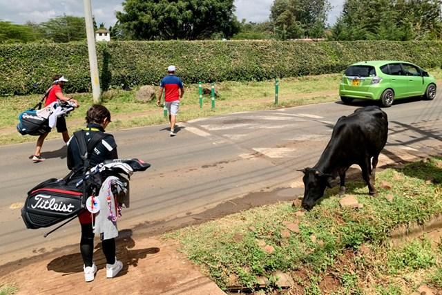 2021年 ケニアオープン 事前 カレンCC 練習場に行くところで牛に遭遇