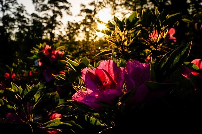 10番ホールのフェアウェイ脇に咲く花(提供:Augusta National Golf Club) 2021年 マスターズ 事前 オーガスタナショナルGC