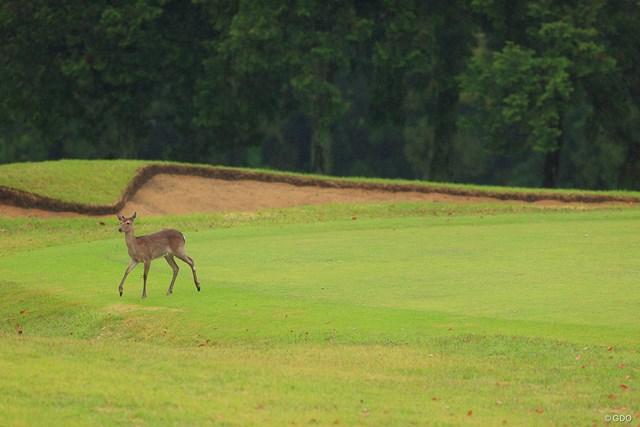 2021年 KKT杯バンテリンレディスオープン 2日目 鹿 ずっと渡るか渡らないかで迷っていた鹿さん