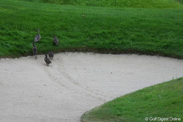 2010年 バークレイズ・スコットランドオープン 初日 鴨 そんなに大勢で歩いたら、足跡が…