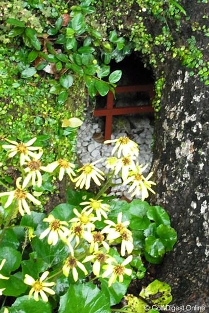 2010年 LPGAツアーチャンピオンシップリコーカップ事前情報 シャイな鳥居 木の幹にある空洞の中にある小さな鳥居(撮影:リコー CX4/今岡涼太)