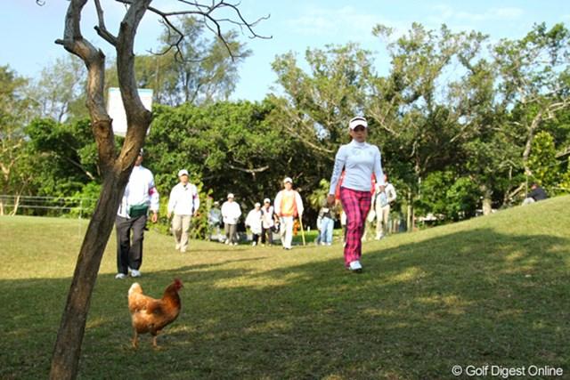 2011年 ダイキンオーキッドレディスゴルフトーナメント 最終日 有村智恵と鶏 あ、おいしそう~とは思ってないと思いますが、コース内になぜか鶏が…
