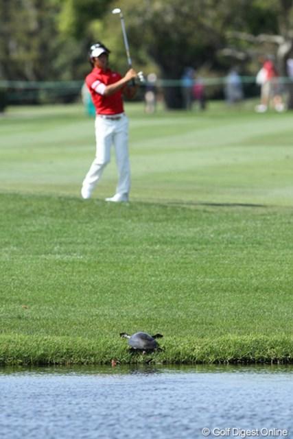 2011年 アーノルド・パーマーインビテーショナル 初日 亀 晴天に恵まれて、亀も甲羅干しに丘へ上がる