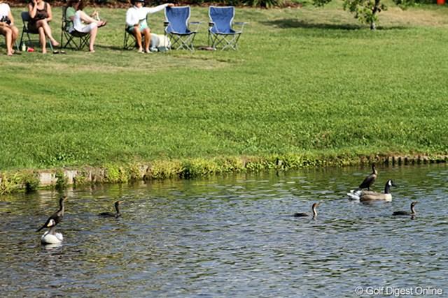 2011年 アーノルド・パーマーインビテーショナル 3日目 鳥 ホンモノは? 18番横の池にはたくさんの鳥がいますが、さて、ホンモノはどれ?