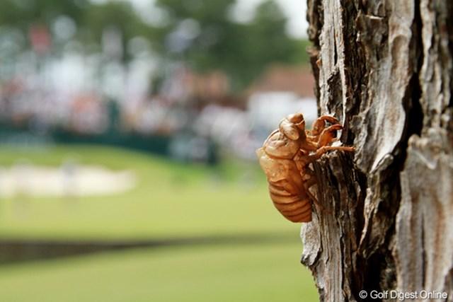 10年前の大会のときに地中にいた幼虫が、今年の大会でやっと地上に出てきて成虫になり、大きな声で鳴いている