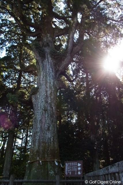 2011年 LPGAツアーチャンピオンシップリコーカップ事前情報 御神木 樹齢800年以上と言われる杉の木。大きなパワーをもらえそう(撮影:リコー CX5)