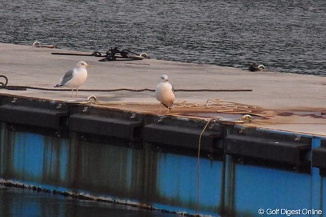 2011年 LPGAツアーチャンピオンシップリコーカップ 事前 かもめ 青島漁港の桟橋に佇むかもめ。港の職員が餌を投げ込むのを虎視眈々と待つ(撮影:リコー CX5)
