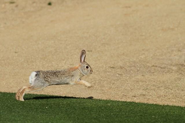 コース内では野ウサギがちょろちょろと現れる。こんな砂漠で何を食べて生きてるのだろう?