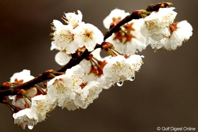 梅?桜?一昨日の暖かさで一気に咲いた花も寒そう。