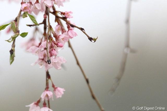 桜も雨で重そう?