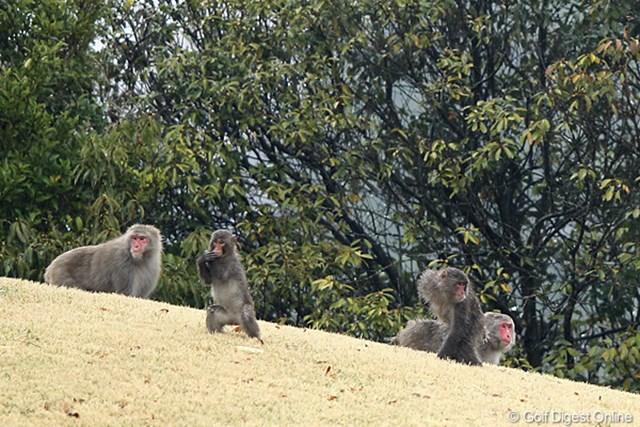 コースの中に野生の猿がいっぱい、ファミリー?