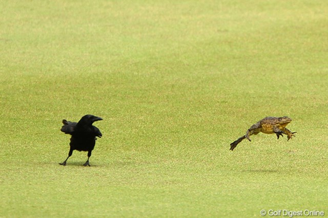 2012年 ダイヤモンドカップゴルフ 2日目 カラスVSカエル 危機一髪!大ジャンプでカラスから逃げるカエル。ゴルフと関係ない写真でスイマセン。ゴルフ場の風景って事でお許しを。