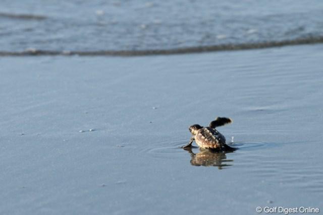2012年 全米プロゴルフ選手権 最終日  うみがめ コースのすぐ横のビーチで赤ちゃんカメが大海原へ旅立って行く。マキロイのように大きくなって戻って来い!