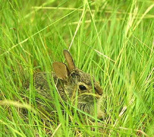 2002年 全米オープン 2日目  野ウサギ