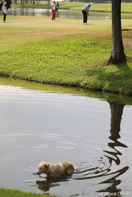 2013年 タイランドオープン 2日目 犬 野良犬も暑いので、水に潜りたくなるようです