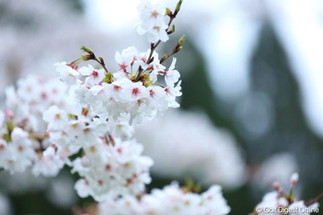 せっかくの桜の花びらも、今週は冷たい雨がしたたるのかな