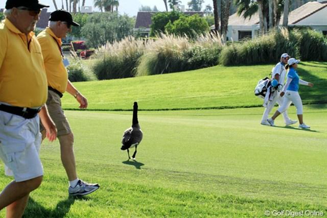 2013年 クラフトナビスコ選手権 3日目 鳥 ゴルフにおいて人間と自然との境目は、限りなく小さい