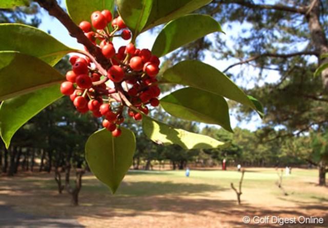 2006年 LPGAツアーチャンピオンシップリコーカップ 事前情報  コース内で見かけた木の実と奥に見えるのは8番グリーン (c) RICOH  リコーのデジタルカメラで撮影しました
